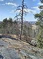 Dead tree (Hallainvuori).jpg