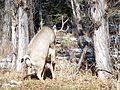 Deer Mating (6354816667).jpg