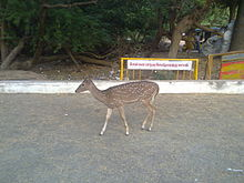 Deer in Chennai Children Park.jpg