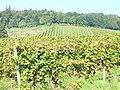 Denbies Vineyard, by Dorking - geograph.org.uk - 971379.jpg