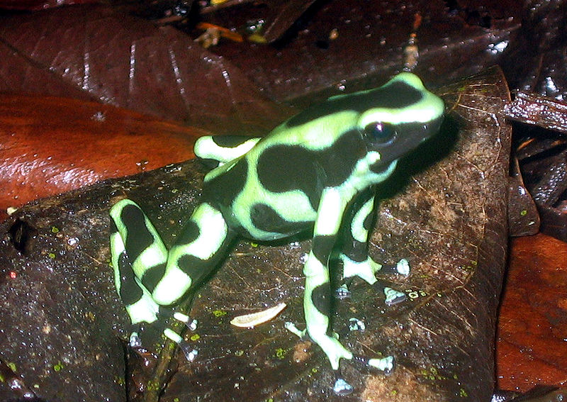 Black and green PA Frog