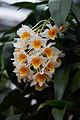 Dendrobium ixf.jpg