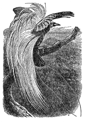 "T. W. Wood - ""Paradisea Papuana"" (lesser bird-of-paradise) from The Descent of Man, with plumes incorrectly rising from the back"