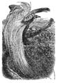 Descent of Man - Burt 1874 - Fig 47.png