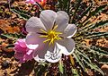Desert flora of the Moab, Utah area (16058467761).jpg