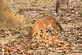 Dhole or Wild dog (54).jpg