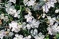 Dianthus anatolicus 15-05-2009 15-13-52.JPG
