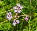 Dianthus hyssopifolius in PNR Pyrenees ariegeoises 05.jpg