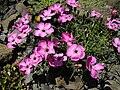 Dianthus neglectus 1.JPG