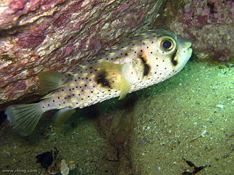 Dicotylichthys punctulatus - Image: Dicotylichthys punctulatus