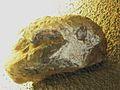 Dicynodon grimbecki.jpg