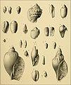 Die tertiären und quartären Versteinerungen Chiles (1887) (20938769512).jpg