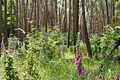 Digitalis purpurea - Purple Foxglove - Roter Fingerhut - Hesse - Germany - 21.jpg