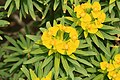 Dingli - Triq Panoramika - Cliffs - Euphorbia dendroides 10 ies.jpg