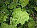 Dioscorea caucasica 2016-05-31 1862.jpg