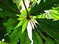 Dizygotheca elegantissima (4).jpg
