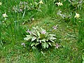 Dog-tooth violets (Erythronium dens-canis) at Brodie. - geograph.org.uk - 1247140.jpg