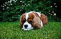 Champion Dog Cavalier Puppies For Sale