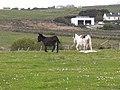 Donkeys in a field near Ballyglass Harbour - geograph.org.uk - 1880766.jpg
