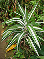 Dracaena.deremensis.Warneckii.jpg