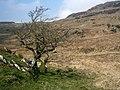 Draenen unig. Lone hawthorn. - geograph.org.uk - 377163.jpg