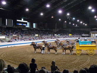 Draft horse showing - Draft horses lined up in the show arena