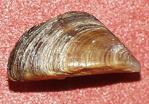 Dreissena - A shell (without byssus) of Dreissena polymorpha