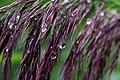 Drops in reed (20920839482).jpg