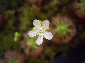 Drosera paleacea, Blüte