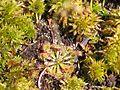 Drosera capillaris.jpg