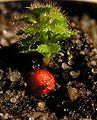 Drosera stolonifera tuber Darwiniana.jpg