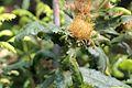 Dryandra praemorsa pm.jpg
