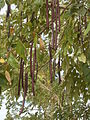 Drzewo kabanosowe.JPG