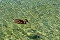 Duck on the water.jpg