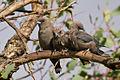 Dusky Woodswallow (Artamus cyanopterus) (12985742464).jpg
