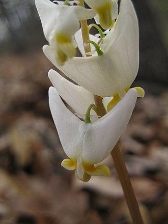 Dicentra cucullaria - Image: Dutchman's breeches closeup