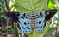 Dysphania percota - The Blue Tiger Moth 09.JPG