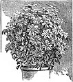 EB1911 Horticulture - Fig. 46.—Clematis trained on Balloon-Shaped Trellis.jpg