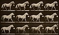Eadweard J. Muybridge - Walking with a bucket in mouth; light-gray horse, Eagle - Google Art Project.jpg