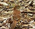 Eastern Brown Thrasher. Toxosoma rufum (38006676412).jpg