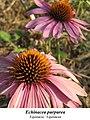 Echinacea purpurea 2.jpg