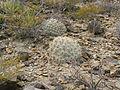 Echinocereus stramineus (5684854944).jpg