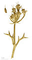 Echinophora spinosa MHNT.BOT.2008.1.5.jpg