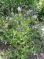 Echium plantagineum 'Purple viper's bugloss' (Boraginaceae) plant.JPG