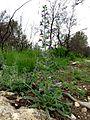 Echium vulgare (8738733337).jpg