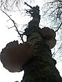 Eekhoornbrood - panoramio.jpg