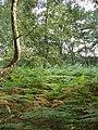 Egypt Woods, near Farnham Common - geograph.org.uk - 34462.jpg