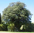 Elaeocarpus dentatus 12.JPG