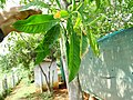 Elaeocarpus ganitrus 05.jpg
