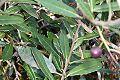 Elaeocarpus holopetalus - Leura drupe.JPG